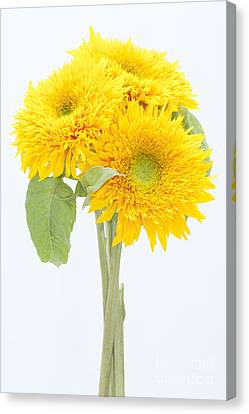 Sunflower Trio Canvas Print by Anne Gilbert