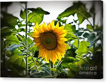 Sunflower Vignette Edges Canvas Print by Ms Judi