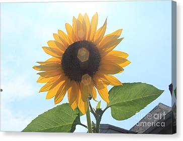 Sunflower With Flare 1 Canvas Print by Lotus
