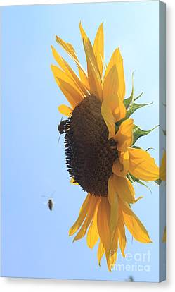 Sunflower With Visitors Canvas Print by Lotus