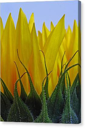 Sunflowers After Hours Canvas Print by Juergen Roth