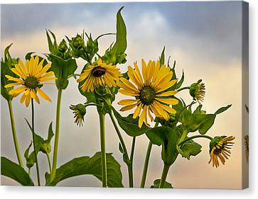 Sunflowers Canvas Print by Barbara Smith