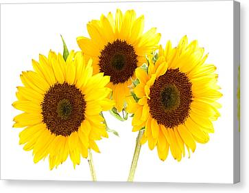 Sunflowers Canvas Print by Claudio Bacinello