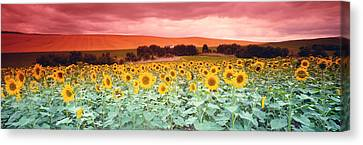 Sunflowers, Corbada, Spain Canvas Print by Panoramic Images