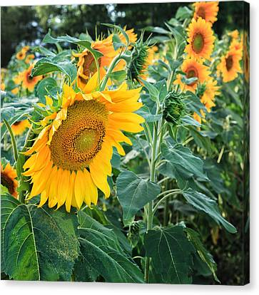 Sunflowers For Wishes Canvas Print by Bill Wakeley