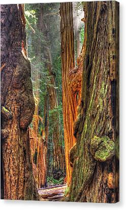 Sunlight Beams Into The Grove Muir Woods National Monument Late Winter Early Afternoon Canvas Print by Michael Mazaika