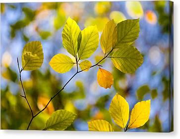 Sunlit Autumn Leaves Canvas Print by Natalie Kinnear