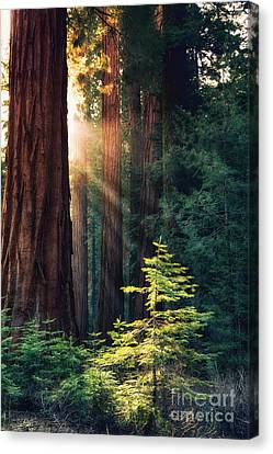 Sunlit From Heaven Canvas Print by Jane Rix