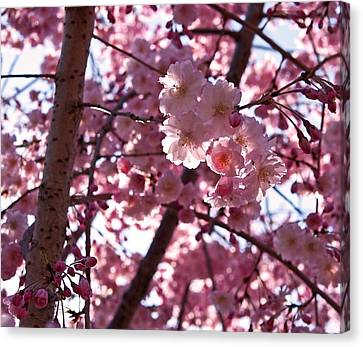 Sunlit Cherry Blossoms Canvas Print by Rona Black
