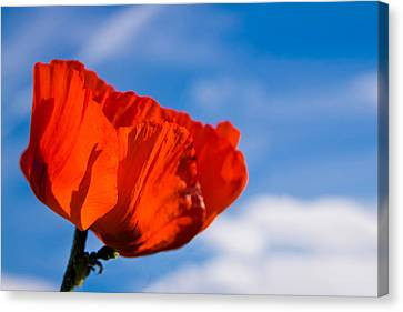 Sunlit Poppy Canvas Print by Adam Romanowicz