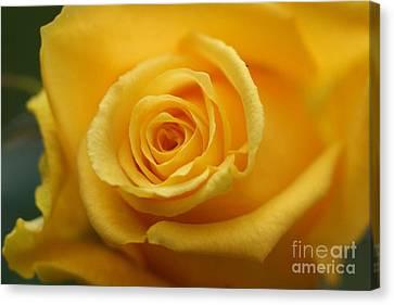Sunny Rose 3 Canvas Print by Carol Lynch