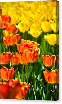 Sunny Tulips Canvas Print by Gynt