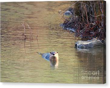 Sunrise Otter Canvas Print by Mike Dawson