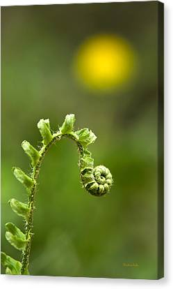 Sunrise Spiral Fern Canvas Print by Christina Rollo