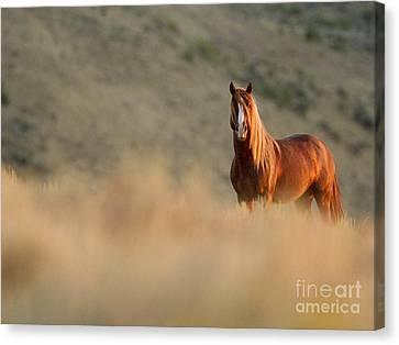 Sunrise Stallion Canvas Print by Carol Walker