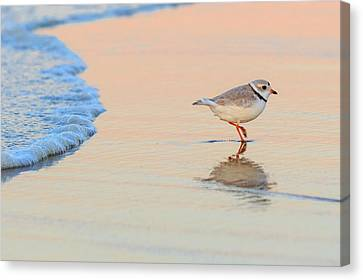 Sunset Piping Plover Canvas Print by Bill Wakeley