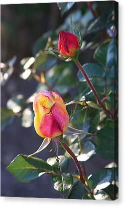 Sunset Roses Canvas Print by Paula Tohline Calhoun