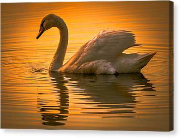 Sunset Swan Canvas Print by Brian Stevens