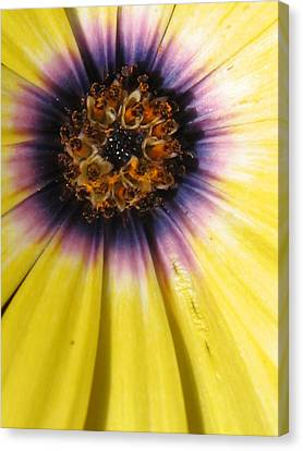 Sunshine Daisy Canvas Print by Tracy Male