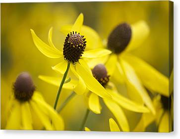 Sunshine On A Cloudy Day Canvas Print by Penny Meyers