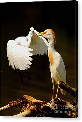 Suprised Cattle Egret Canvas Print by Robert Frederick