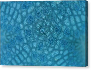 Surface Of Blue Starfish Canvas Print by Scubazoo