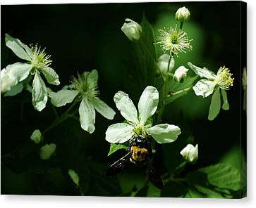 Swamp Rose With Carpenter Bee Canvas Print by Rebecca Sherman