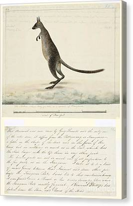 Swamp Wallaby, 18th Century Canvas Print by Natural History Museum, London