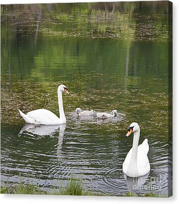 Swan Family Squared Canvas Print by Teresa Mucha