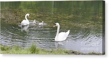 Swan Family Canvas Print by Teresa Mucha