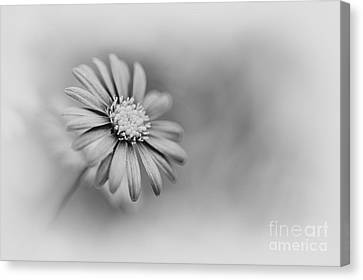 Swan River Daisy Monochrome Canvas Print by Tim Gainey