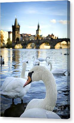 Swans On Vltava River Canvas Print by Jelena Jovanovic