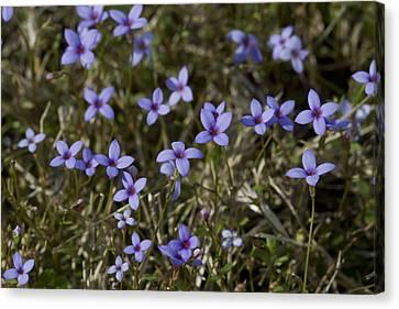 Sweet Alabama Tiny Bluet Wildflowers Canvas Print by Kathy Clark