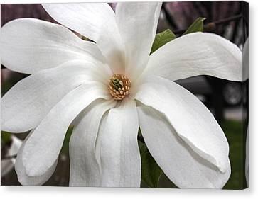 Sweet Magnolia Canvas Print by Judy Palkimas