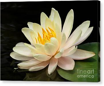 Sweet Peach Water Lily Canvas Print by Sabrina L Ryan