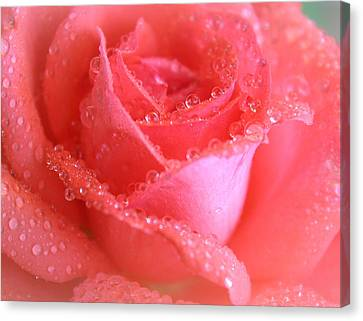 Sweetest Rose Canvas Print by  The Art Of Marilyn Ridoutt-Greene