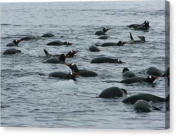 Swimming Gentoo Penguins Canvas Print by Amanda Stadther