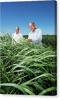 Switchgrass Crop Research Canvas Print by Peggy Greb/us Department Of Agriculture