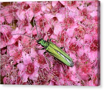 Swollen-thighed Beetle Canvas Print by Nigel Downer