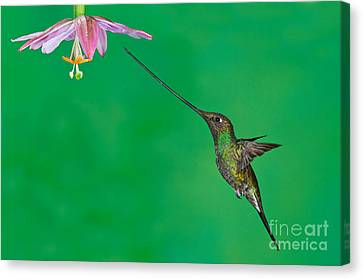Sword-billed Hummer Canvas Print by Anthony Mercieca