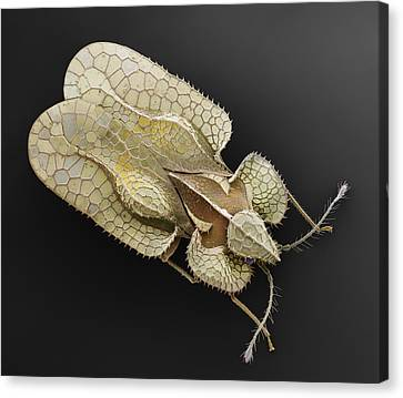 Sycamore Lace Bug Sem Canvas Print by Albert Lleal