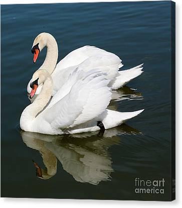 Synchronized Swans Canvas Print by Carol Groenen