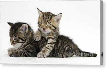 Tabby Kittens Dozing Canvas Print by Mark Taylor