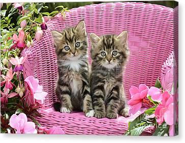 Tabby Kittens Canvas Print by Greg Cuddiford
