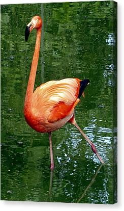 Pink Flamingo Takes A Stand Canvas Print by Bob Slitzan