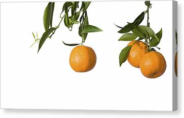 Tangerines On Branch Canvas Print by Anna Kaminska