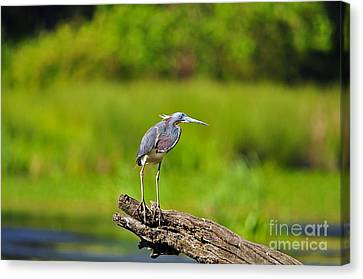 Tantalizing Tricolored Canvas Print by Al Powell Photography USA