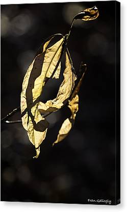 Tattered Leaf Canvas Print by Fran Gallogly
