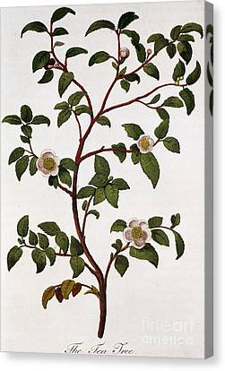 Tea Branch Of Camellia Sinensis Canvas Print by Anonymous