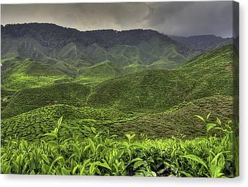 Tea Farm Canvas Print by Mario Legaspi